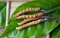 鲜虫草怎么吃最好 那曲冬虫夏草怎么吃最好效果最好